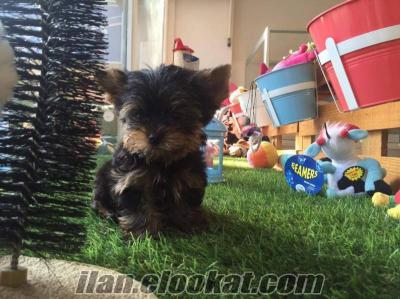 Tea Cup Yorkshire Terrier yavrumuz için arayınız