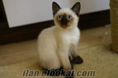 Şişli siyam kedisi
