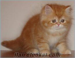 istanbulda sahibinden satilik en sirin yavrulari iran kedi
