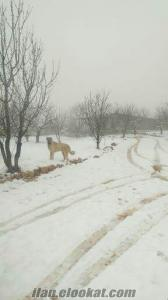 Gaziantep Şehitkamil kangal