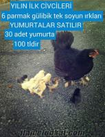 ankara satılık ispenç tavuklar ve horozlar