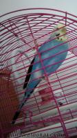çorumda satılık mavi kuş dişi