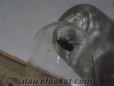 Geyik böceği satılık ?