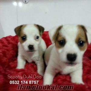 jack russell satılık yavru köpekler