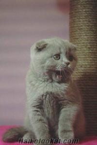 satılık orjinal silver chinchilla kedi yavruları