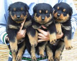 Çiftliğimizden Irk Garantili Yavru Köpekler