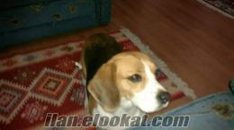 Ispartada satılık beagle