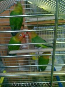 satılık. cennet ve sevda papağanı. yavruları