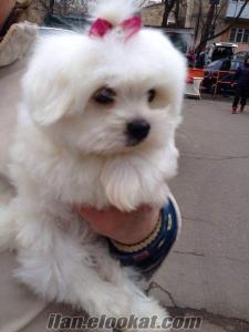 Kadıköy maltıse terrier