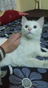 van kedisi yavru bebek 5.ayında 300
