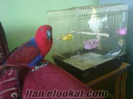 satılık 4 yaşında eclectus(klise) papağanı