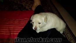 muğlada sahibinden satılık terrier-golden dişi