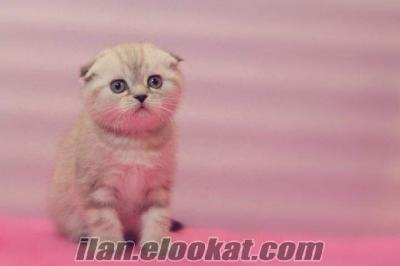 SATILIK SCOTTISH FOLD ICE CLEAR KEDİ YAVRULARIMIZ