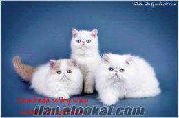 her ırk her cins kedi ELİT KEDİ güvencesi ile