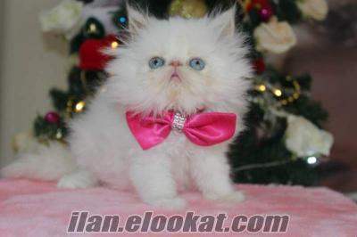 satılık süper kalite iran persian beyaz yavrular geldi