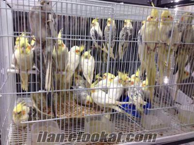 satılık toptan sultan papağanı