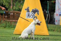 satılık eğitimli köpekler AMERİKAN BULLDOG