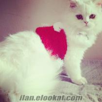 Chinchilla dişi kedime tek renk koca arıyorum / Pendik