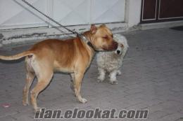 Sakaryada kayıp köpek pablo