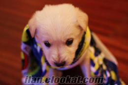 Kocaelinden golden 3 aylık saf kan köpek