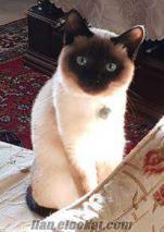 Safkan SİYAM kedimi aldığım fiyata satıyorum.