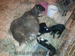 ankarada sahibinden satılık saf romanov koyunlar