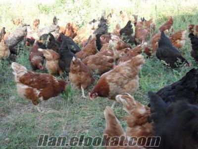 Kırklareli Babaeski köy yumurtası