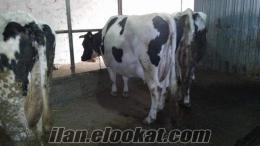 doğa bey hayvancılık buzalı süt inekleri satılıktır
