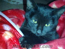 siyah yavru kedi yuva arıyor.