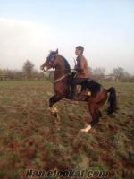 uşaktan satılık safkan arap atı