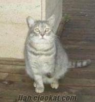 tombul whıskas kedisi