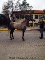 uşaktan sahibinden satılık arap atı safkan