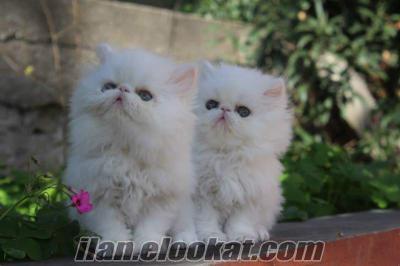 satılık iran persian white colour yavruları petonyada