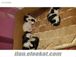 dalmaçyalı yavru kediler sahibini arıyor