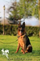 satılık eğitimli köpekler ALMAN KURDU