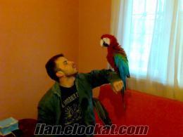 Satılık ara macaw papağanı