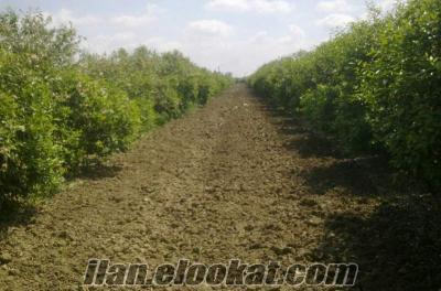 adanada her yaz için mayer limon minimum 100 ton satılık. kalite altınsarı