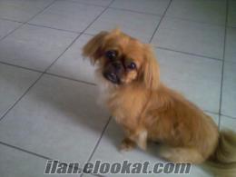 2 yaşında erkek pekines köpeğimi eşleştirmek istiyorum.Antalya içi dişi pekines