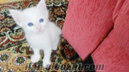 van kedisi satılık