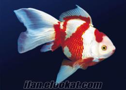 çeşit çeşit japon balıkları burda