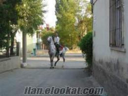 satılık arap atı heryürlü
