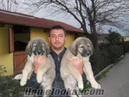 satılık kafkas çoban yavrusu