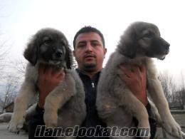 Bursa Kopek Egitim Merkezi Satılık KAFKAS yavruları