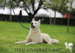 satılık eğitimli köpekler HUSKY