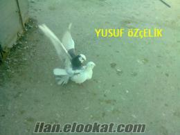 adanada satlık yerli güvercin (çifttir)