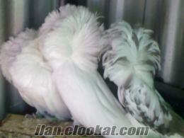 adanada satılık mantolu süs güvercini