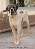 adanada sahibinden satılık aksaray malaklısı 2 yasında temiz bir köpek