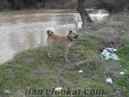 eskişehirde kayıp köpek aranıyor