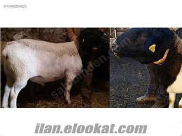 dorper kuzu koyun koç