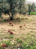organık köy yumurtasu